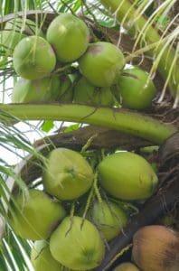 Multiples beneficios del aceite de coco, propiedades del aceite de coco